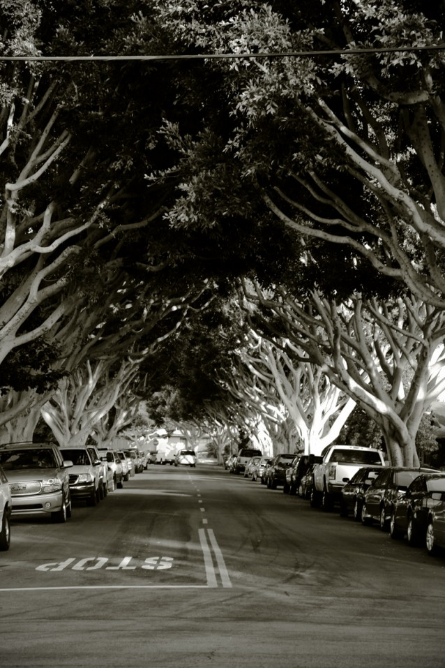 Trees Clay Street Newport Beach